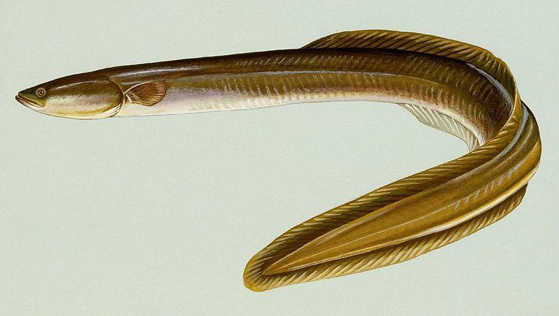 El paradójico anfibio con escamas | General | Zoo Logik