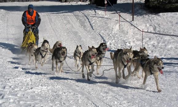 Trineo con 11 perros en una carrera en Alemania (foto: Rainer Lippert, Wikipedia)