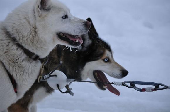 Huskies siberianos (Imagen: M. Rehemtulla - Wikipedia)