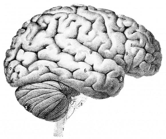 Superficie del encéfalo humano (Popular Science Monthly, Vol. 46; 1894-1895)