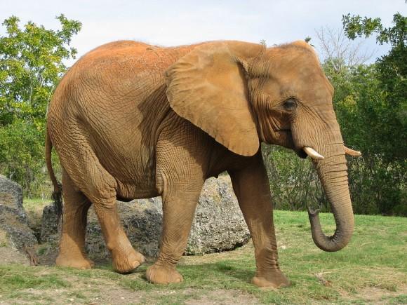 Elefante (imagen: Eugenia y Julián; fuente: Wikipedia)