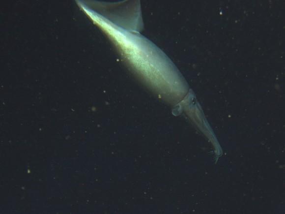 La ventaja competitiva del calamar de Humboldt