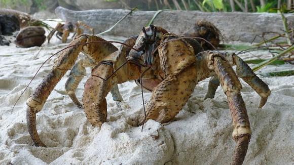 Un poderoso crustáceo