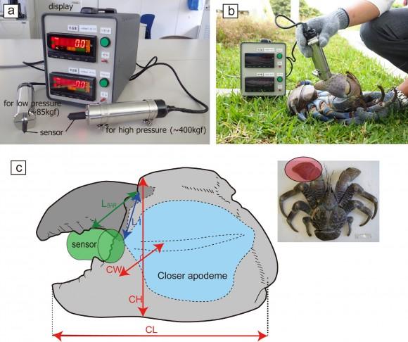 Morfología y medición de la fuerza de las pinzas del cangrejo de los cocoteros. (Imagen: Shin-ichiro Oka, Taketeru Tomita & Kei Miyamoto)