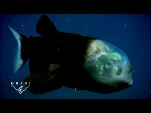 El asombroso pez de cabeza transparente