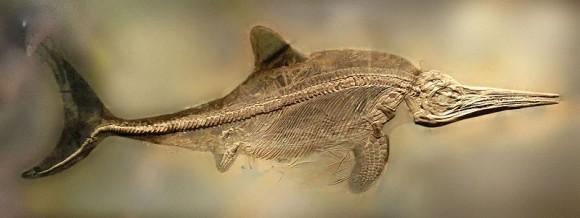 Stenopterygius quadriscissus Imagen: Gunnar Creutz) Una reconstrucción de esta especie puede verse en Australian Museum.