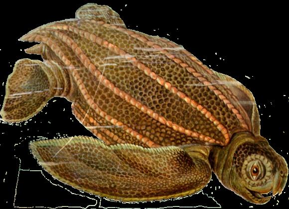Dermochelys coriacea (Imagen: Ernst Haeckel, dominio público)