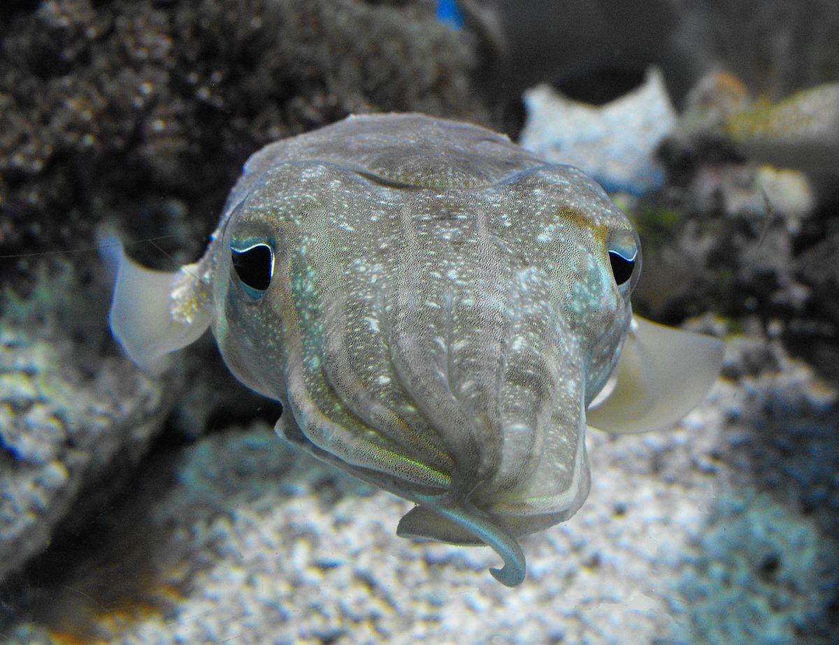 La sepia que imita al cangrejo ermitaño | General | Zoo Logik