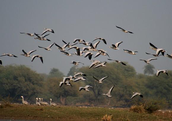 Bandada de ánsares índicos en el momento de levantar el vuelo para empezar el viaje (Imagen: J. M. Garg; Wikipedia)